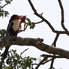 white-throated kingfisher with frog