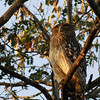 brown fish owl as are the next ten or so, we flushed this bird and another as we were exploring the forest behind our camp, it perched in the open, illuminated by the setting sun