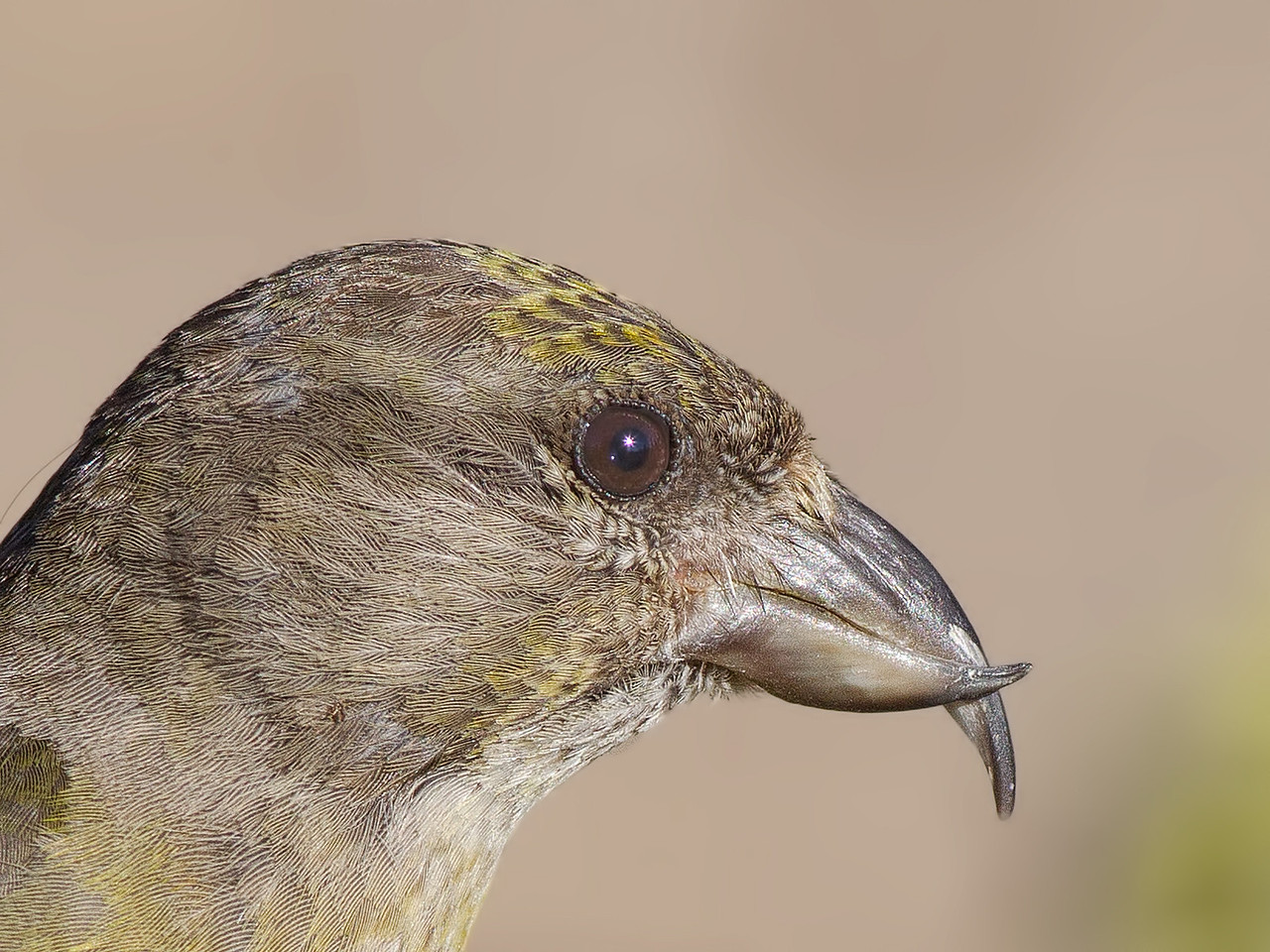 red crossbill, detail, Deschutes NF, Oregon, 2013